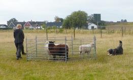 Wilma möter fåren