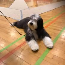 Bonnie blev BIR-valp på sin första utställning.
